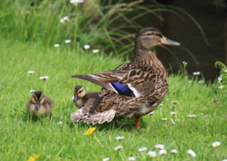 proud mummy duck